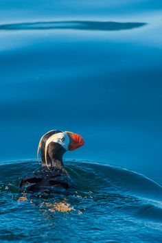 A puffin. See the amazing wildlife and landscapes of Alaska.