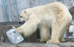 A la vez, se quiere definir un programa para que, junto con los médicos veterinarios del zoológico 'Benito Juárez', se siga dando una atención digna a la osa polar – ...