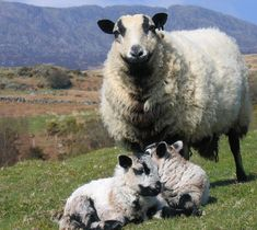 Badger Face Welsh Mountain ewe and lambs