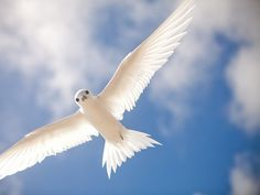 Photo: And this is why fairy terns got their name