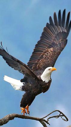 The majestic Bold Eagle Oiseaux De Proie, Oiseaux Exotiques, Photo Oiseau,  Plumes, e904fb9957c