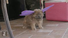 A Rare Fairy Hound Pup