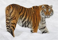 A Siberian tiger walks at the St-Felicien Wildlife zoo in St-Felicien, Quebec November 30, 2010. According to National Geographic, the wild population of Siberian tigers, also called Amur tiger, is estimated between 400 and 500 and is classified as an endangered species.