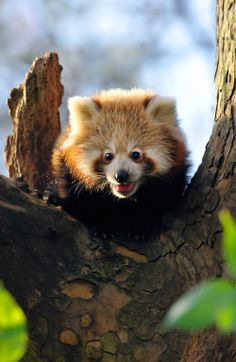 Red Panda by Aranka Delina Janné on Cutest Animals On Earth, Animals And Pets, Baby Animals, Funny Animals, Cute Animals, Cute Creatures, Beautiful Creatures, Animals Beautiful, Animal Magic