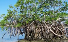 Someday I want to see a mangrove...