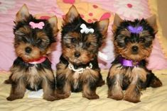 Animals - potty trained Teacup Yorkie Puppies ready current on all shots.They are home raised puppies,all teacup Yorkie and are re. Cute Puppies, Cute Dogs, Dogs And Puppies, Corgi Puppies, Baby Animals, Cute Animals, Teacup Yorkie, Teacup Terrier, Yorkshire Terrier Puppies