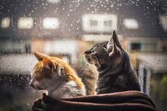"culturenlifestyle: "" Cute Cat Photography Staring Out the Rainy Scenery by Felicity Berkleef self-taught artist from Netherlands, Felicity Berkleef's deep found love for her cats is. I Love Cats, Crazy Cats, Cute Cats, Funny Cats, Son Chat, Cat Photography, Beautiful Cats, Cat Memes, Cats And Kittens"
