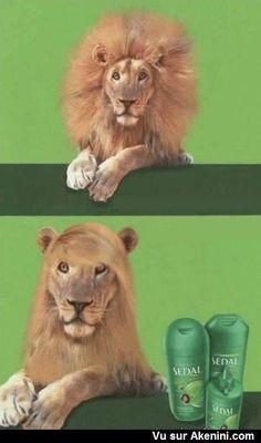 Le lion et sa crinière toute lisse - Hair Lion