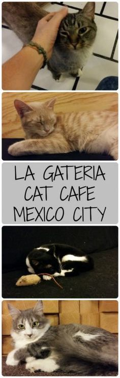Love cats? You'll love La Gatería Cat Café in Mexico City! Buy a coffee and play with kitties, what could be better?! I loved this cat cafe, and it is an adoption centre for stray cats too, what more could you ask for? - Tales of a Backpacker
