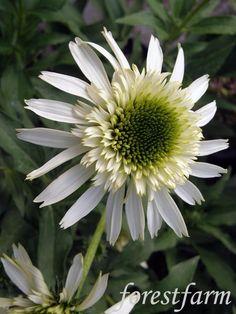 Hybrid Coneflower 'Vanilla Cupcake' (Echinacea x hybrida)