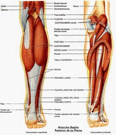 Diagram of upper leg muscles anatomy pinterest upper leg anatoma de los msculos de las piernas la gua definitiva ccuart Image collections