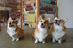 Huey, Dewey & Louie attend the Low Dog Convention   Three cute Pembroke Welsh Corgis via Flickr - Photo Sharing! © Ivy@PaperElixir