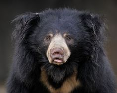 """As Smithsonian National Zoo puts it, """"A sloth bear uses its lips like a vacuum, making rapid, loud 'kerfump' noises as it sucks insects from their nests."""" The sucking sound they make when working away at a termite mound can be heard over 100 meters away. They can also close their nostrils so that bugs don't get up their nose while they're eating."""