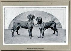 Más tamaños   Beierse bergspeurhonden   Flickr: ¡Intercambio de fotos!