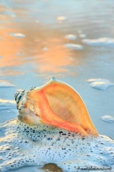 Whelk shell in the seafoam, Hatteras Island. Pictures of the Outer Banks by Dan Waters Sky Sunset, Shell Collection, Sea Photography, Hatteras Island, Word Of Faith, Bees Knees, Christian Women, Christian Art, Ocean Beach