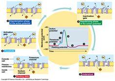 action+potential+nerve+impulse | action potential