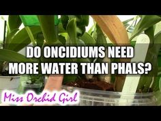 Why do Oncidiums need more water than Phalaenopsis Orchids? - Orchid Plant Guide