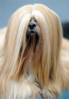 This dog's got a serious do.    #dogs #watchwigs www.youtube.com/wigs