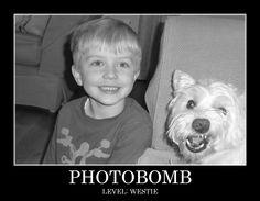 westie photobomb