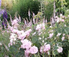 Purpursporre (Linaria purpurea) populär bland rosor
