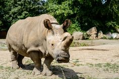When the other northern white rhinos were transported to Ol Pejeta, Nabire stayed behind after it was revealed she was no longer capable of natural reproduction. | These Are The Last Six Northern White Rhinos Left On The Planet
