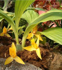 Lycaste cruenta OrchidsBln0906.jpg