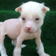 pink skin - puppy - hairless