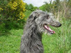 Cute Scottish Deerhound dog photo and wallpaper. Beautiful Cute ...