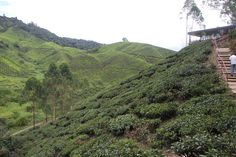 Maleisië, Cameron Highlands theeplantage