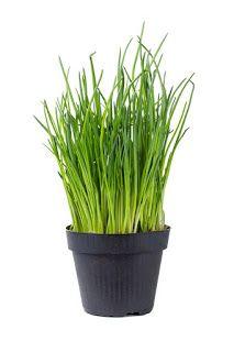 El Huerto en Macetas: Cultivar cebollino en macetas Herb Garden, Vegetable Garden, Allium Schoenoprasum, Farm Projects, Small Farm, Gras, Garden Crafts, Growing Plants, Dream Garden