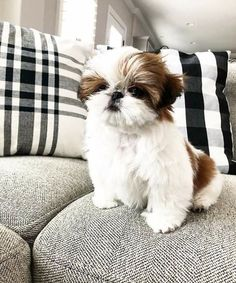 trendy dogs and puppies shih tzu animals Shih Tzu Hund, Perro Shih Tzu, Maltese Shih Tzu, Shih Tzu Puppy, Shih Tzus, Pet Puppy, Teacup Shih Tzu, Baby Shih Tzu, Teacup Chihuahua