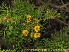 Bild von Adesmia gracilis (). Klicken Sie, um den Ausschnitt zu vergrössern.