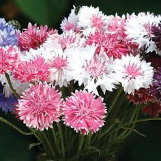 Centaurea Classic Fantastic Mix - The feathery flowers of this varieties make a nice addition to mixed cut flower bouquets.  Bring a traditional touch to cut flowers with this old fashioned favorite! Annual Bachelor's buttons, are a great direct sow product. #gardentrends #flowers #perennials