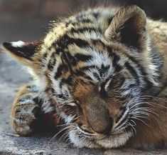 A sleepy tiger cub by Tom Ward Cute Baby Animals, Animals And Pets, Funny Animals, Wild Animals, Big Cats, Cats And Kittens, Cute Cats, Siamese Cats, Beautiful Cats