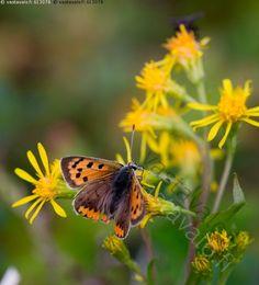 Pikkukultasiipi Saanalla - pikkukultasiipi Lycaena phlaeas perhonen…
