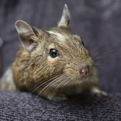 Nature Everyday Day 29 : Introducing Harry Houdini the escapologist degu found in my friend's garden before Christmas and cherished ever since #degu #nature #natureeveryday #animal #petsofinstagram #petsathome #cute #pet #pets #rodent #degulove  #degusofinstagram