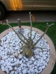 Como fazer as rosas-do-deserto florirem. As rosas-do-deserto, ou Adenium obesum, dependendo dos cuidados podem florir o ano todo e neste artigo de umComo, ensinaremos como fazer as rosas-do-deserto florirem constantemente. Existem algumas ex... Bonsai Plants, Garden Plants, Desert Rose, Orchids, Deserts, Yard, Outdoor Decor, Green, Irises