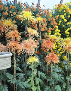 Growing with plants: Smith College Chrysanthemum Show