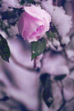 Winter-rose by Alex Kaufmann