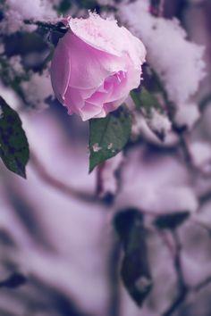 Winter-rose by Alex Kaufmann