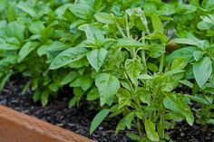 Kalyn's Kitchen: How to Freeze Fresh Basil http://www.kalynskitchen.com/2006/06/how-to-freeze-fresh-basil-weekend-herb.html#