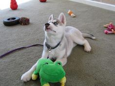 Siberian Husky Puppy Pictures – First 3 Months