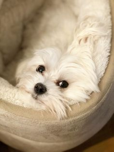 I am keeping my eye on you! #Maltese