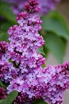 Lilacs, my favorite spring flower