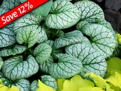 Frosty Brunnera Jack Frost for 6+ months of interest in your shade garden