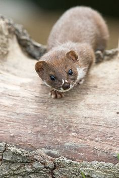 Weasels are mammals forming the genus Mustela of the Mustelidae family. The genus includes the weasels, European polecats, stoats, ferrets and European minks. They are small, active predators, long and slender with short legs. The Mustelidae family is often referred to as the weasel family. Gestation period: 40 - 43 days (European polecat) · 280 days (Stoat) en.wikipedia.org