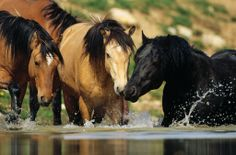 Wild mustangs at the water hole. A gin fizz would be so much more refreshing, don't you think? Most Beautiful Animals, Beautiful Horses, Beautiful Creatures, Horse Love, Horse Girl, Majestic Horse, Wild Mustangs, All The Pretty Horses, White Horses