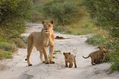 10-lioness-protects-injured-baby-fox