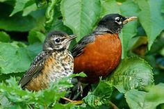 Robins sitting among the new green leaves of spring! I love these birds!
