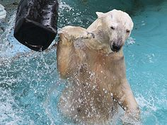 天王寺動物園、ホッキョクグマ「バフィン」の展示再開-元気な姿見せる Polar Bear, Animals, Animales, Animaux, Animal, Animais
